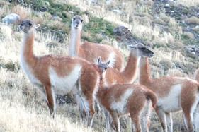 Guanacos in the Torres del Paine