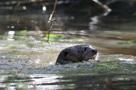Giant Otter in the Amazon