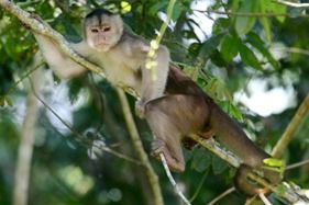 A Monkey in the Napo wildlife Reserve