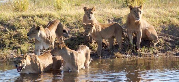 africa-lions-Chobe-NP-Botswana