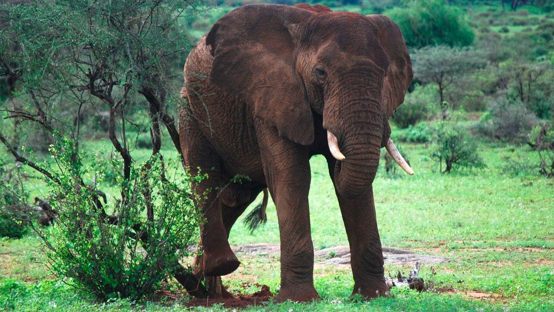 kenya-elephant